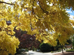 Canberra Autumn Sonya Heaney 5-4-2013