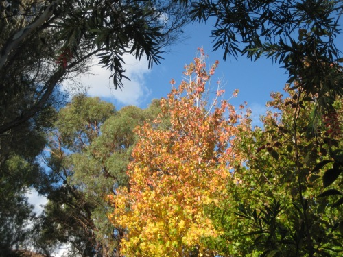 Canberra Autumn Sonya Heaney