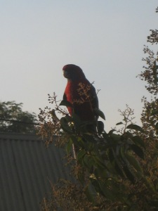 King Parrot Canberra Sonya Heaney 12-4-2013