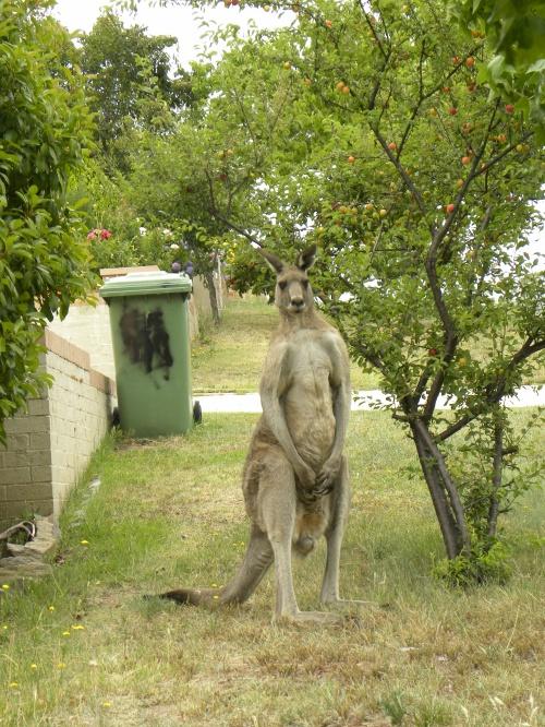 Kangaroo Queanbeyan 1st January 2014 Sonya Heaney Oksana Heaney