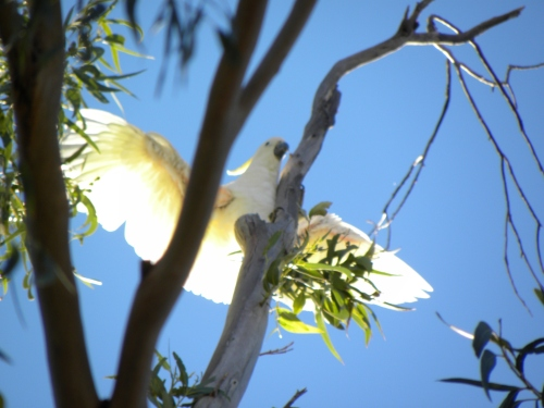 Sulphur-crested Cockatoo Canberra Australia 17th January 2014 Sonya Heaney Oksana Heaney