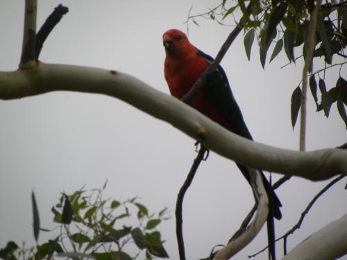27th February 2014 King Parrot Canberra Australia Sonya Heaney Oksana Heaney