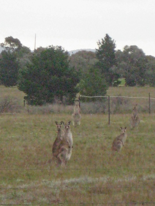 Kangaroos Queanbeyan Australia 25th April 2014 Sonya Heaney.