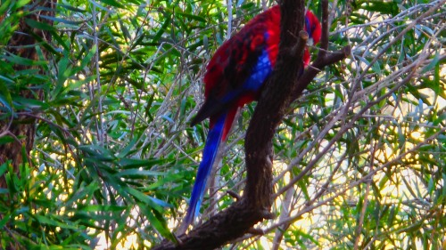 Crimson Rosella Canberra Australia 19th May 2014 Sonya Heaney Oksana Heaney 2