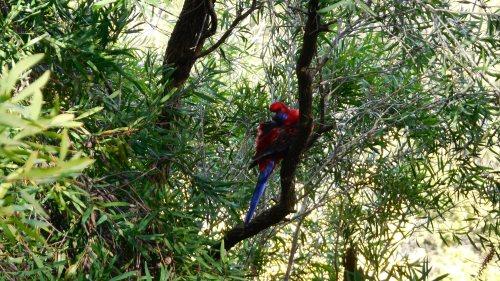 Crimson Rosella Canberra Australia 19th May 2014 Sonya Heaney Oksana Heaney