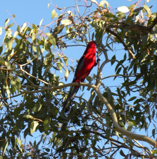 Crimson Rosella Canberra Australia 30th May 2014 Sonya Heaney