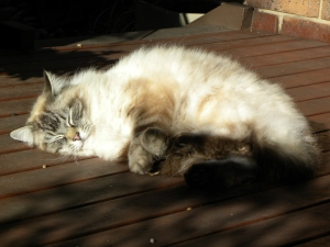 2 Obi Cat Canberra Australia 20th August 2014 Sonya Heaney Oksana Heaney.JPG