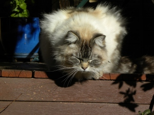 3 Obi Cat Canberra Australia 20th August 2014 Sonya Heaney Oksana Heaney.JPG