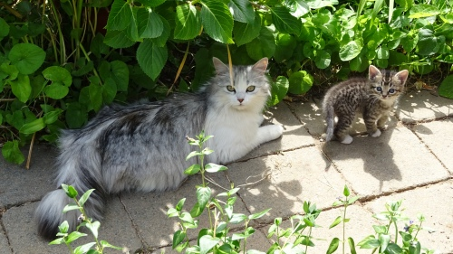 Cat and Kitten Queanbeyan Australia 13th November 2014 Sonya Heaney Oksana Heaney