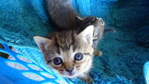 Kittens Qeanbeyan Australia 2nd November 2014.