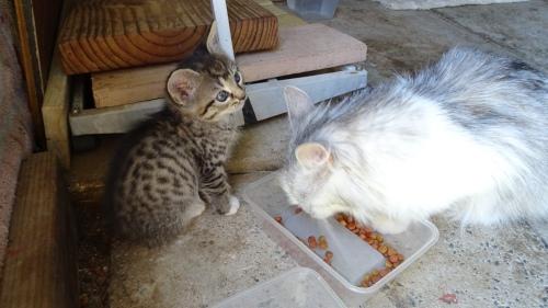 Socks Kitten Jemima Cat Queanbeyan Australia 22nd November 2014 Sonya Heaney Oksana Heaney