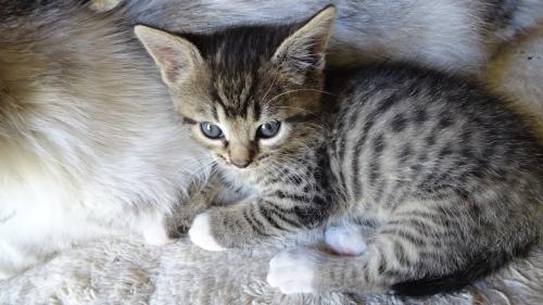 Socks Kitten Queanbeyan Australia 22nd November 2014 Sonya Heaney Oksana Heaney