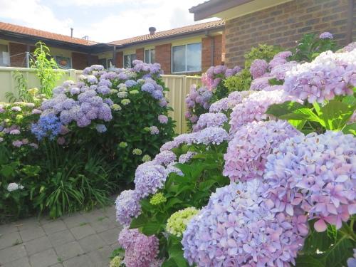 Hydrangea Garden Queanbeyan Australia 28th December 2014 Sonya Heaney
