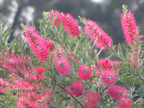 Bottlebrush Tuggeranong Canberra Australia 23rd January 2015 Sonya Heaney 2