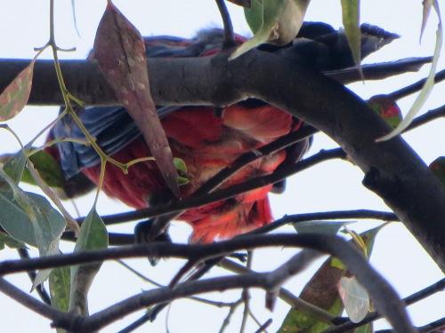 Crimson Rosella Tuggeranong Canberra Australia 23rd January 2015 Sonya Heaney 1