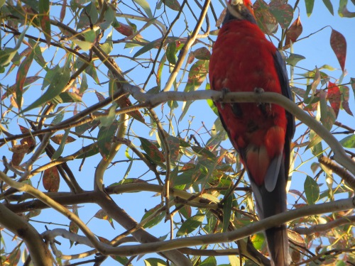 Crimson Rosella Tuggeranong Canberra Australia 23rd January 2015 Sonya Heaney 2