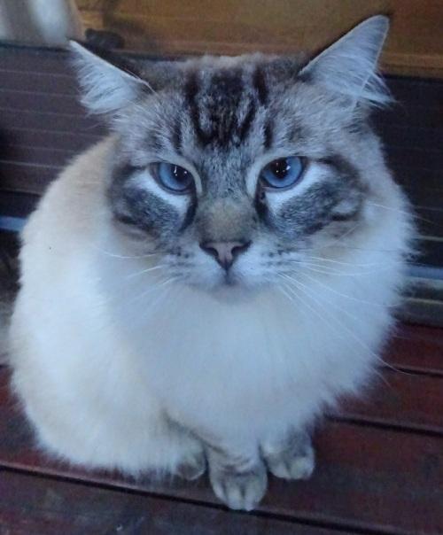 Dorky Ernie Ragdoll Cat 3rd January 2015