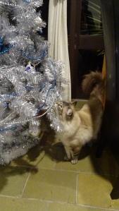 Ernie Ragdoll Cat Tuggeranong Canberra Australia 9th January 2015 Sonya Heaney Oksana Heaney Christmas Tree 2