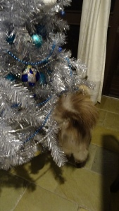 Ernie Ragdoll Cat Tuggeranong Canberra Australia 9th January 2015 Sonya Heaney Oksana Heaney Christmas Tree 3
