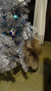 Ernie Ragdoll Cat Tuggeranong Canberra Australia 9th January 2015 Sonya Heaney Oksana Heaney Christmas Tree 3