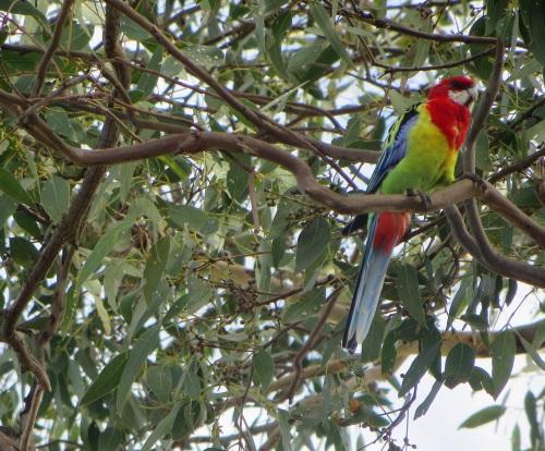 Eastern Rosella Garden Gum Tree Tuggeranong Canberra Australia 21st February 2015 Sonya Heaney