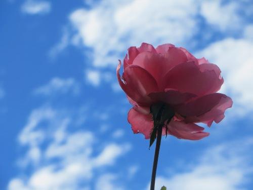 Pink Rose Garden Queanbeyan Australia 21st February 2015 Sonya Heaney