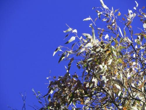 Eucalyptus Tree Gum Tree Canberra Australia Tuggeranong Sonya Heaney 19th March 2015