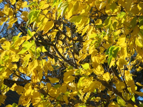 Autumn Colours Blue Sky Gowrie Tuggeranong Canberra Australia Sonya Heaney 22nd April 2015IMG_3805