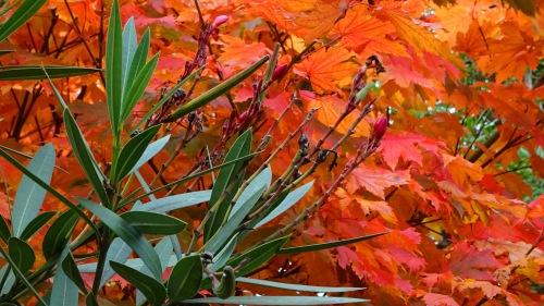 Autumn Colours Garden Oksana Heaney Tuggeranong Canberra Australia 13th April 2015