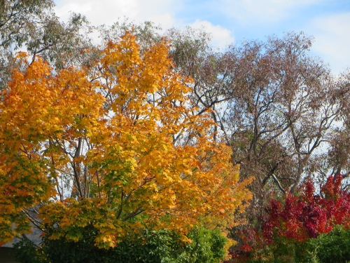 Autumn Colours Queanbeyan Australia Sonya Heaney 12th April 2015
