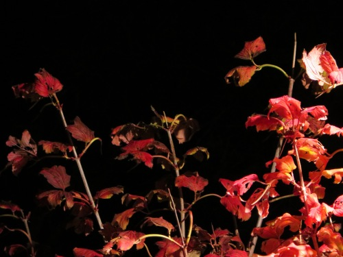 Autumn Leaves Night Photography Garden Gowrie Tuggeranong Canberra Australia Sonya Heaney 24th April 2015