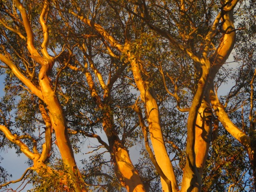 Golden Sunset Tree Tuggeranong Canberra Australia 12th April 2015 Sonya Heaney Ukrainian Easter
