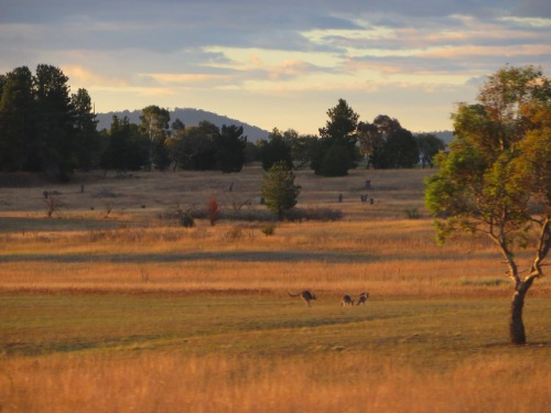 Kangaroos Canberra to Queanbeyan Sunset Australia 26th April 2015 Sonya Heaney 1