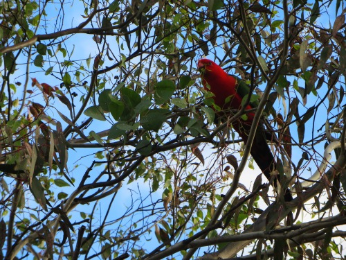 King Parrot Garden Canberra Australia 26th April 2015 Sonya Heaney 1
