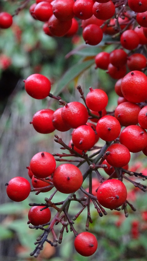 End of Autumn Red Berries Garden Tuggeranong Canberra Australia 20th May 2015 Sonya Heaney Oksana Heaney 2