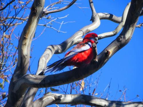 Crimson Rosella Canberra Australia Tuggeranong Garden Sonya Heaney 2nd June 2015.