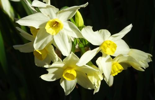 Winter Flowers Queanbeyan near Canberra Australia Sonya Heaney Oksana Heaney 5th June 2015
