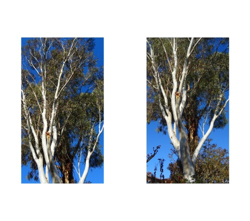 Eucalyptus Gum Trees Winter Garden Canberra Australia Sonya Heaney 14th August 2015