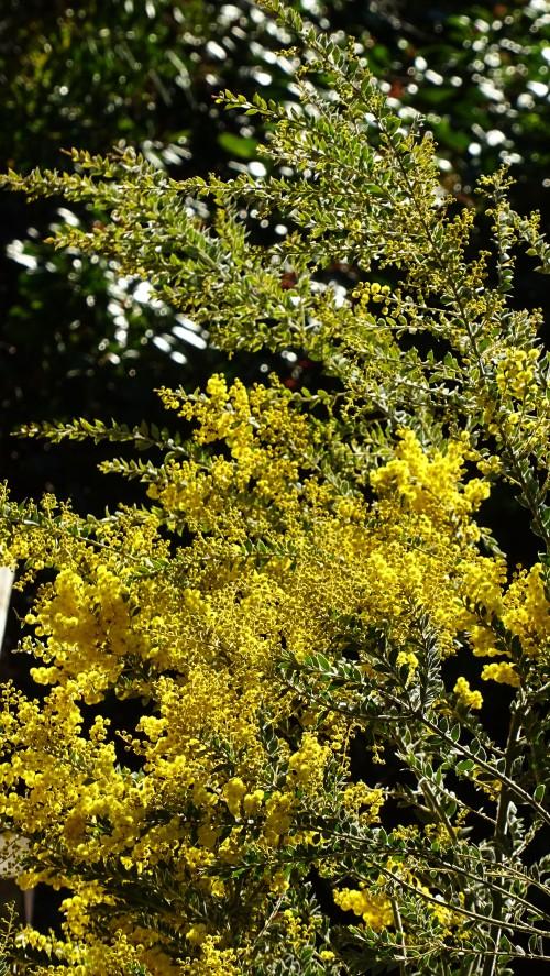 Wattle Garden Winter Tugggeranong Canberra Australia Sonya Heaney 14th August 2015 Nature