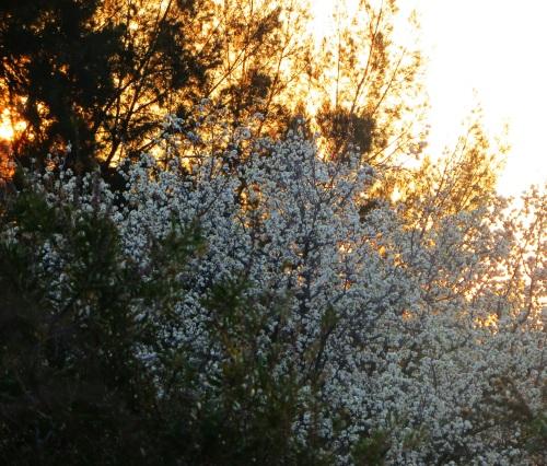 First Sunset of Spring Tuggeranong Canberra Australia Sonya Heaney 1st September 2015 Garden Blossoms Flowers Nature