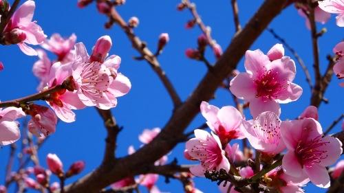 Spring Blossoms Queanbeyan Australia Sonya Heaney Oksana Heaney 8th September 2015