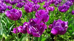 Floriade Canberra Australia Spring Sonya Heaney Oksana Heaney 5th October 2015 Purple Flowers Garden Nature