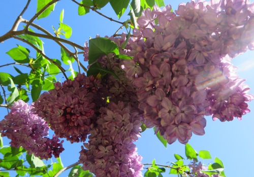 Garden Gowrie Tuggeranong Canberra Australia Spring Lilac Sonya Heaney 16th October 2015 Flowers Purple Nature