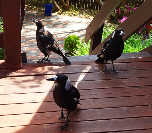 Magpies Tuggeranong Canberra Australia 29th October 2015v Sonya Heaney Birds Native Animals Nature