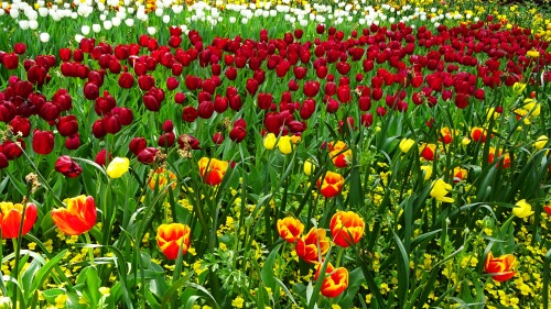 Sea of Tulips Floriade Canberra Australia Spring Sonya Heaney Oksana Heaney 5th October 2015 Flowers Garden Park Nature