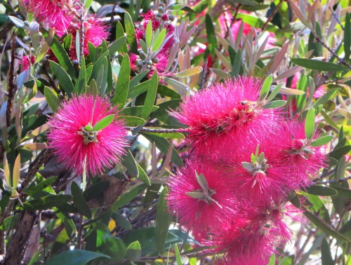 Bottlebrush Canberra Australia Spring Garden Flowers Sonya Heaney 8th November 2015 Nature