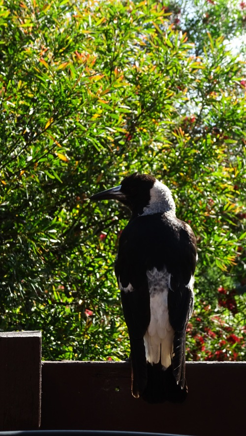 Magpie Tuggeranong Canberra Australia Sonya Heaney 17th November 2015 Bird Garden Spring Nature