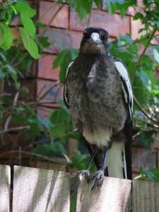 Baby Magpie Canberra Australia Garden Sonya Heaney 10th December 2015 12