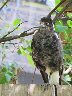 Baby Magpie Canberra Australia Garden Sonya Heaney 10th December 2015 32