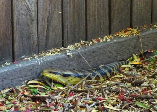 Blue-Tongued Lizard Garden Canberra Australia 4th December 2015 Sonya Heaney